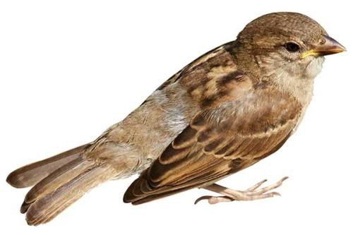 sparrow-600-400-500x333